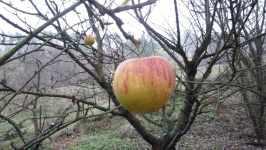 Žíhané jablko na stromě, listopad 2008, Brno Soběšice