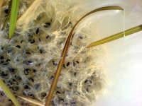 Žabí vajíčka: Lom pískovna Kaolín Rudice, 12.4.2008