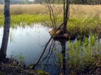 Rákosí na rybníku na Třeboňsku