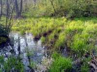 Zelené rákosí na rybníku