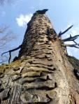 Starý dub u Rozvodí