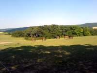 Koně (Equus caballus)