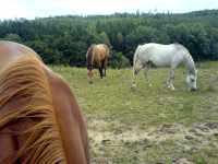 Kůň (Equus caballus)
