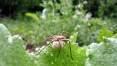 Hnědá chlupatá pani pavouková nese pytlík s vajíčkama, červen 2008