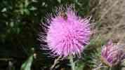 Květ bodláku, 2008