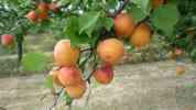 Meruňky v Morkůvkách, 2008