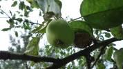 Moniliozová jablka, 2008