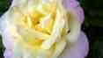 Růže květ, červen 2008