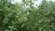 Větve obtížené jablky, 2008