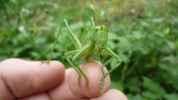Zelená kobylka, 2008
