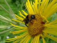 Čmelák na žlutém květu, červenec 2009