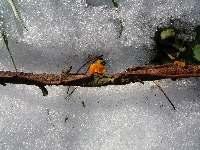Oranžová dřevokazná houba na klacku, Soběšice, březen 2009