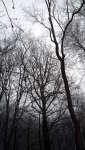 Dub v lese, v zimě, Soběšice, leden 2009