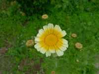 Japonská jedlá chryzantéma - květ, červenec 2009