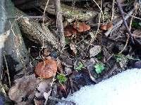 Karamelové houby u kompostu, Soběšice, březen 2009