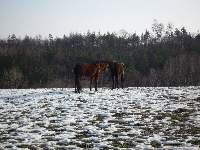 Koně na sněhu, Soběšice, březen 2009