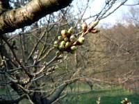 Květní pupeny třešně, Soběšice, duben 2009