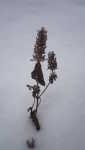 Luční květ ve sněhu, Soběšice, leden 2009