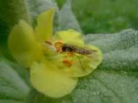 Pestřenka na květu divizny, červenec 2009