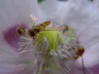 Pestřenky na květu máku, červenec 2009