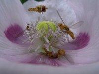 Pestřenky v květu máku, červenec 2009