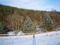 Stříbrné smrky u zahrady, Soběšice, březen 2009