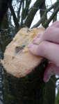 Ekologický balzám na stromy, vlastní směs lněného oleje a včelího vosku, Soběšice, leden 2009