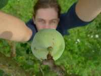 Zelená renklóda, červenec 2009