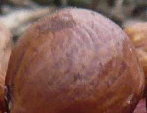 Lískové ořechy pro zvířata a ptáky na zahradě, prosinec 2007 (foto: Pavel Pražák)
