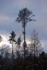 Borovice v zimě